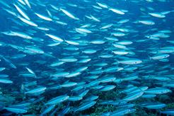 Sea of Fish